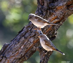 Southern Grey-headed Sparrow (Passer diffusus) (ruslou (More off than on)) Tags: bird nature southafrica southerngrayheadedsparrow passerdiffusus greyheadedsparrow warmbaths southerngreyheadedsparrow ruslou belabela zwartkloofprivategamereserve gryskopmossie