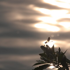 dragonfly at sunset (italo dei silenzi) Tags: sunset backlight dragonfly controluce