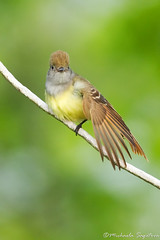 Great Crested Flycatcher (~ Michaela Sagatova ~) Tags: bird nature dundas flycatcher greatcrestedflycatcher myiarchuscrinitus dvca michaelasagatova