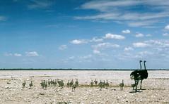 Namibia 58 (jjay69) Tags: africa park travel wild holiday bird tourism birds animals southafrica alone desert wildlife feathers dry bluesky tourist chick ostrich safari longneck getty chicks desolate namibia etosha gettyimages longlegs flightless gamepark saltpan southernafrica flightlessbirds etoshapan babyostriches etoshanationalpark flickrgetty