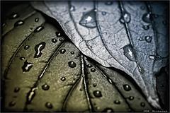 affinity (VEB-Bildwerk) Tags: macro drops fineart blatt bltter tropfen leavs