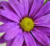 HPPS (Lea and Luna) Tags: summer plant flower nature flora nikon purple bokeh saturday creation daisy summertime 60mm nikkor macrolens d5000 hpps perfectpurplesaturday happyperfectpurplesaturday