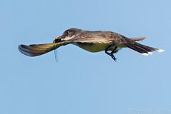 Eastern Kingbird (~ Michaela Sagatova ~) Tags: bird nature inflight dundas bif flycatcher easternkingbird tyrannustyrannus dvca michaelasagatova