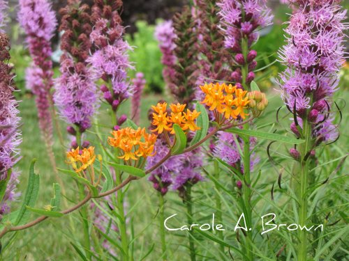 Butterfly Weed and Liatris
