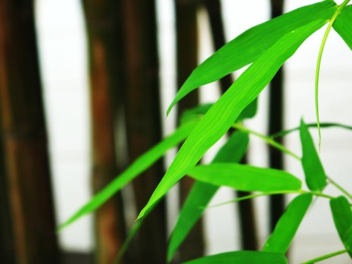 IMG_0955 Bamboo Leaves ,竹叶青