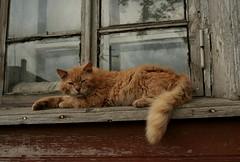 ? A cat in the Solovetsky islands (anty_rama) Tags: red cat ginger russia north rudy monastery kot gulag   rosja    solovki monastyr klasztor   whitesea pnoc   solovetskyislands    guag soowki  wyspysoowieckie morzebiae