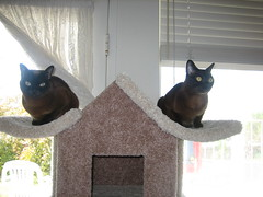 qiana & meili (dancer Dallagio) Tags: cats cute love window sisters cat kitty kitties burmese roomwithaview meili