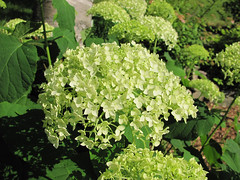 Annabelle is Blooming (lindadaley) Tags: flowers novascotia gardening hydrangea blooms eastside hydrangeaarborescensannabelle