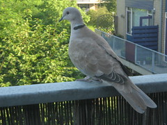 Eurasian Collared Dove on my terrace