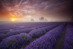 Lavender Sunrise (antonyspencer) Tags: uk england mist field lines fog sunrise landscape dawn view farm lavender somerset dorset colourful spencer antony frome faulkland