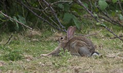 The afternoon is greeted (-Porsupah-) Tags: wild summer rabbit bunny one wildlife yawn july stretch solo enthusiastic 2010 lapine leporid