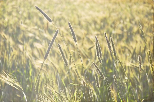 gräs i rågfältet