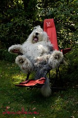 just relax  * explore * (dewollewei) Tags: old summer vacation dog chien english relax sheepdog bob explore hund perros dogg bobtail oes oldenglishsheepdog sheepdogs falck oldenglishsheepdogs viejopastoringles anawesomeshot sweetexpressions dewollewei highqualitydogs