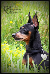 """""""Tiny"""" the Min Pin (CampCrazy Photography) Tags: portrait dog pet ontario black cute hair puppy friend sweet small adorable trafalgar canine tiny sit wildflowers milton pal mate loveable minpin lay dobber campcrazyphotography serenalivingston"""