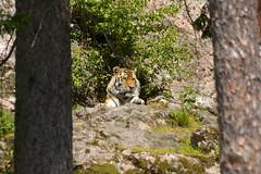 Siberian Tiger-07 (mellting) Tags: tiger siberiantiger amurtiger kolmården mellting obloggad matsellting