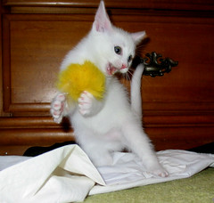 Kitten at Play (whaas987) Tags: white cat kitten whitekitten cutekitten fosterkitten beautifulkitten kittenmagazine kittenatplay