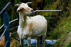 """Cabra (""""REFO"""") Tags: españa del la asturias playa el cabrio cabra cudillero silencio escaleras cabras cabron parroquia refoyo refo gavieru"""