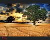 Wheat Field (Muzammil (Moz)) Tags: uk morning london sunrise sunrays dunstable stalbans wheatfields wheatfield muzammilhussain