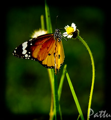 """The butterfly is a flying flower, The flower a tethered butterfly."" (Pattugrapher) Tags: krishlikesit"