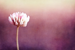 Simplicity is the nature of great souls. (CarolynsHope) Tags: pink flower color texture petals weed colorful purple feminine textures simplicity clover simple paulgrand