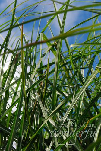 Tangled_Grasses