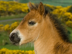 Foal (exmoorphotos) Tags: pony exmoor foal exmoorphotos