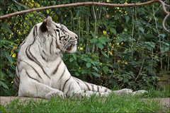 Rare White Tiger (Foto Martien (thanks for over 2.000.000 views)) Tags: white holland netherlands dutch cat kat utrecht blueeyes nederland bigcat wildcat wit siberiantiger whitetiger pantheratigrisaltaica amurtiger bengaltiger zooamersfoort blauweogen wildekat dierenparkamersfoort koreantiger wittetijger tigreblanco indiantiger pantheratigristigris bengaalsetijger manchuriantiger northchinatiger siberischetijger koreaansetijger royalbengaltiger grotekat tigreblanc amoertijger dierentuinamersfoort a550 mantsjoersetijger noordchinesetijger oessoeritijger pantheratigrisbengalensis ussuritiger altaictiger flickrbigcats martienuiterweerd martienarnhem weisetiger koningstijger sony70300gssmlens sonyalpha550 fotomartien