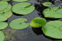 Dragonflys on Lily Pads