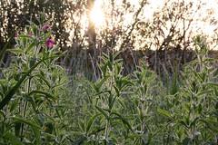 Curracloe sunset through flowers (chacrebleu) Tags: park flowers ireland light sunset summer sun green nature beautiful garden relax evening spring bokeh zen wexford curracloe