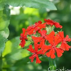 burninglove (Elsa Kurppa) Tags: red summer flower blomma 2010 sommar kes  rd punainen  kukka burninglove  lychnischalcedonica brennendeliebe palavarakkaus brinnandekrlek elsakurppa