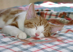 Scruffy taking a Cat Nap (whaas987) Tags: cats kittens cutekitten sleepingkitten beautifulkitten