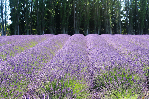 Sequim Lavender Fields