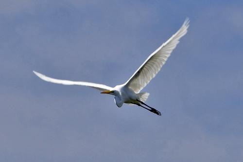 egret flying pocasset III