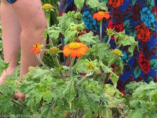 Kelda behind Mexican Sunflowers