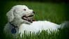 Look at my dog.  My dog is amazing. (Graustark) Tags: dog white texas houston august olympus dinky helios44m ep2 ratapoo ratterrierpoodlemix hetastesjustlikeraisins