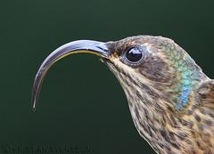 Buff-tailed Sicklebill (Eutoxeres condamini) (macronyx) Tags: bird peru nature birds hummingbird wildlife birding aves oiseaux fåglar kolibri sicklebill eutoxerescondamini bufftailedsicklebill ectoxeres