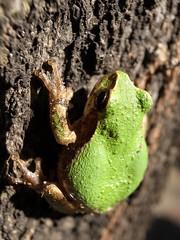 (norio_nomura) Tags: flickr frog  everytrail grd3