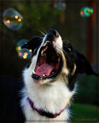 Brynn & The Bubbles (BCxFour) Tags: fun joy bubbles biting bubble bordercollie widemouth poppingbubbles bubblebokeh