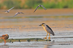 Black-crowned Night Heron (Eddy Matuod) Tags: creative moment creativemoment