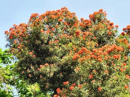 20100804-rq-09-Eucalyptus ficifolia