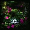 (19/77) Tags: flower slr film malaysia 1977 negativescan kiev88 mediumfromat kodakektacolorpro160 autaut canoscan8800f misaikucing arsat80mmf28 myasin