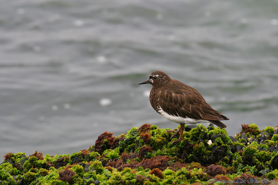 Black-Turnstone-071003