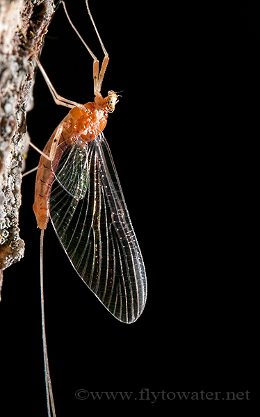 Mayfly Closeup