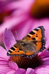 Kleine Vos - Small Tortoiseshell (reintjedevos [lay out - night mare for Admins]) Tags: nature butterfly natuur coh showroom soe aglaisurticae kleinevos smalltortoiseshell vlinder tistheseason naturesfinest theworldwelivein supershot butterfliesandflowers goldengallery naturesgarden mywinners flickrbronzeaward betterthangood norelative goldstaraward naturestyle dedoka reintjedevos damniwishidtakenthat naturespotofgold enarmoniaconlanaturaleza colorsofthesoul allkindsofmacros dragondaggerphoto dragonflyaward ilikethenature pictureslovers geenfamilie universeofnature bokehandbokeh bestofmywinners coth5 naturesgardenplatinum naturescarousel grazyaboutnature aplaceforgreatphotographers mygearandme mygearandmepremium mygearandmebronze mygearandmesilver mygearandmegold poppyawards goldenuniverse diamondnaturestyle diamondbluenaturestyle ilikethenatureplatinum betterthangoodlevel2 naturespotofgoldlevel2 showroomsbest klassethebestinnature bestofmywinnersfrontpage thewonderwallnatwonderful goldstarawardlevel23