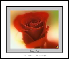 Para Nane, la mas bella de las rosas (Jose Luis Mieza Photography) Tags: flowers flores flower fleur rose fleurs flor rosa nane floer benquerencia florews reinante jlmieza reinanteelpintordefuego joseluismieza