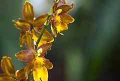 Orchid in air (aGinger) Tags: brown orchid flower closeup blossom tropical hybrid oncidium odontoglossum epyphites oncidiumenderianum forgetty