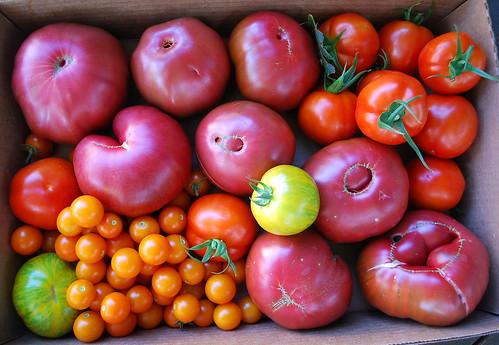 August Tomato Harvest 3