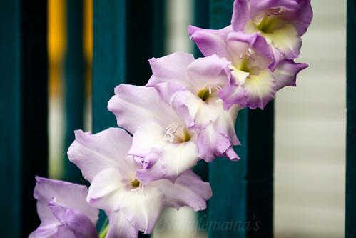 Purple Glads