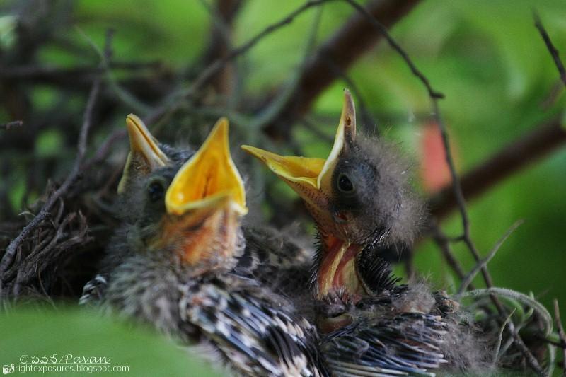 Northern Mockingbird chicks