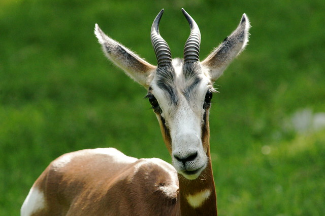 african animals of mhorr gazelle deer wallpapers